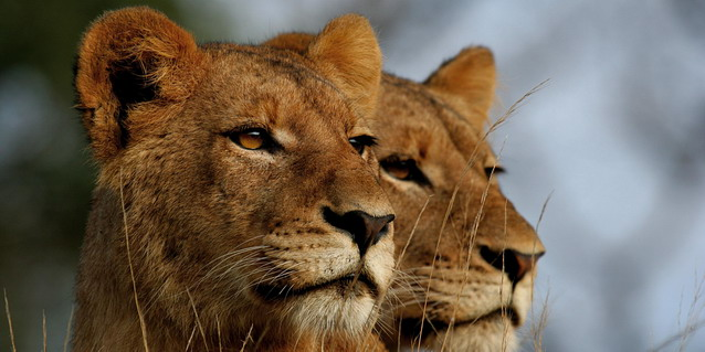 Lionesses on the hunt - Where | Luxury African Safari Vacations | Classic Africa