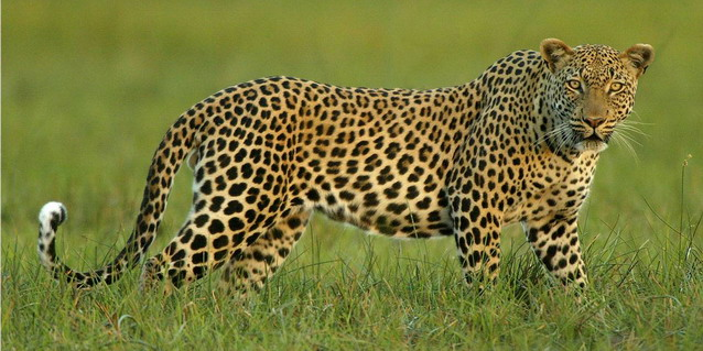 Leopard in the Okavango Delta - How Long | Luxury African Safari Vacations | Classic Africa